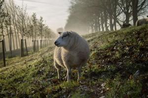 Dalla pecora al maglione